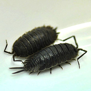 porcellio warneri